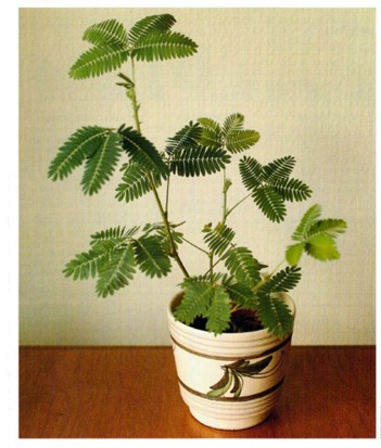 Sensitive Plant - Mimosa pudica