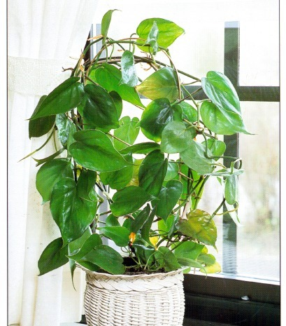 Sweetheart Plant Philodendron Scandens