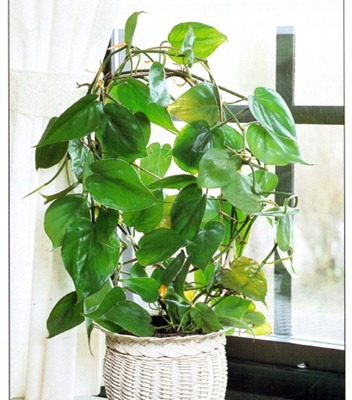 Sweetheart Plant - Philodendron scandens