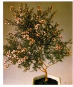 Tea Tree – Leptospermum scoparium