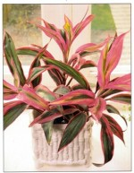 Ti Plant or Cabbage Tree – Cordyline
