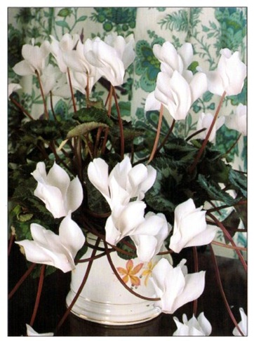 white reflects light - White Flowering House Plants