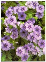 Wild Sweet William – Phlox drummondii
