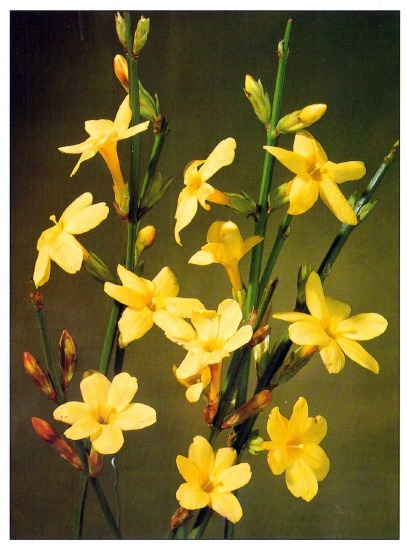 winter jasmine jasminium nudiflorun. Black Bedroom Furniture Sets. Home Design Ideas