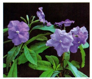 Yesterday, Today and Tomorrow - Brunfelsia pauciflora calycina