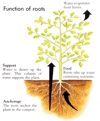 function of roots