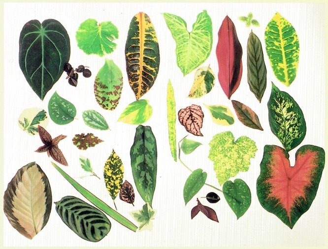 leaf shapes and patterns - House Plant Identification By Leaf