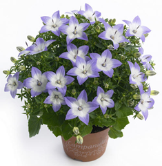 star-of-bethlehem-campanula