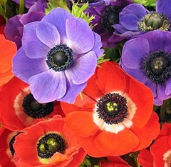 Anemone Cultivation