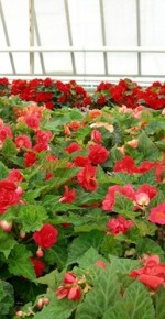 Cultivation of Begonias