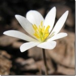 Blood Root – Sanguinarea