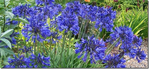 Blue African Lily - AGAPANTHUS