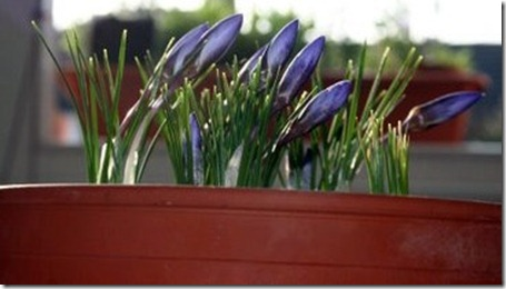 CROCUS IN THE WINDOW-BOX