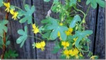 Garden Nasturtium And Canary Creeper – Tropaeolum