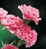 Growing Carnations and Pinks