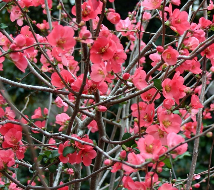 """the japanece quince Don't be fooled by the """"quince"""" in the name: japanese chaenomeles isn't a tree, it's a shrub that can be trained as a hedge or wall climber, or left shrub-shaped the perfumed fruits are."""