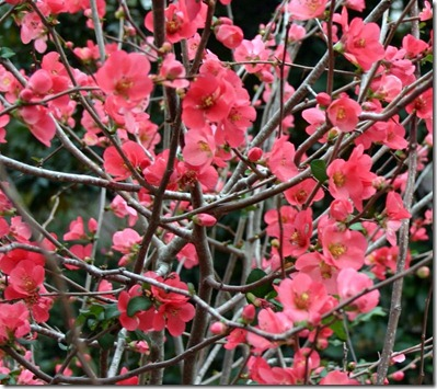 Chaenomeles - Flowering Quinces