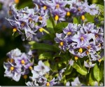 Chilean Potato Tree – Solanum