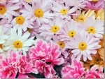 How To Grow And Care For Chrysanthemums