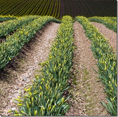 Costs And Returns Of Daffodil Forcing