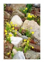 Daffodil Species For The Rockery
