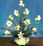 Daffodils and Narcissi Arrangements