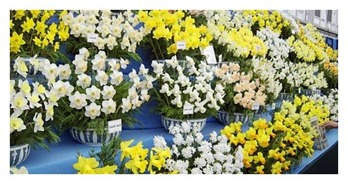 Exhibiting Daffodils At Flower Shows