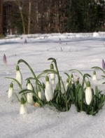 Tips On Growing Snowdrop – Galanthus