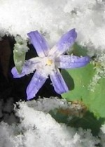 Glory of the Snow – Chionodoxa