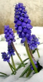 Growing Grape Hyacinth – Muscari