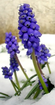 Grape Hyacinth growing