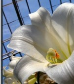 Greenhouse Cultivation Of Lilies