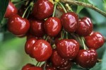 Growing Cherries On Walls