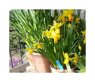 Growing Daffodils In Pots