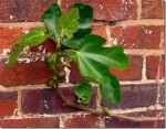 Growing Figs Against Walls