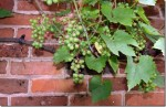 Growing Grapes Against Walls
