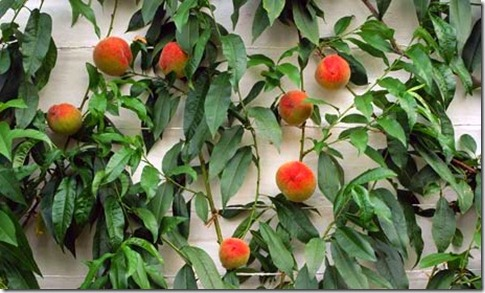 Growing Peaches On Walls
