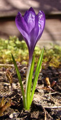 How To Grow Crocus Plants