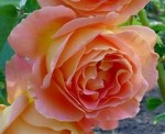 Rose Varieties for Garden, Patio, And Arrangements