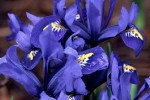 Iris Species And Varieties