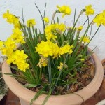 Indoor Cultivation Of Daffodils