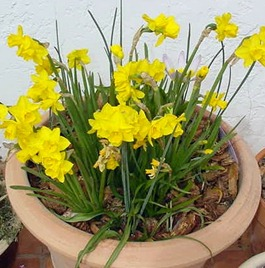 Indoor Cultivation Of Daffodils2