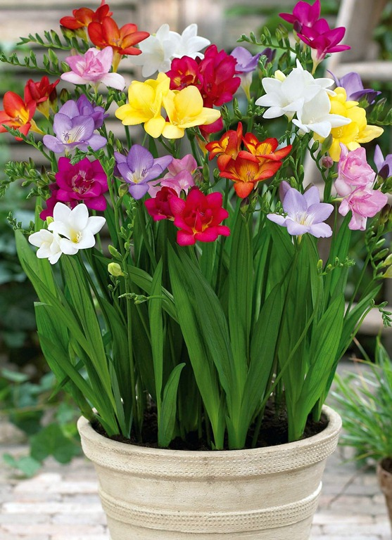 1000 images about freesias on pinterest for Indoor gardening flowers