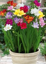 Indoor Cultivation Of Freesias