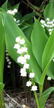 Lily Of The Valley - Convallaria