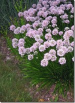 Ornamental Onions – Allium
