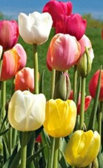 Outdoor Cultivation Of Tulips
