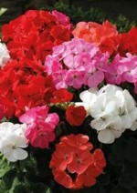 Pelargoniums–How To Care And Cultivate