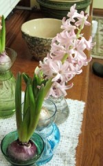 Planting Hyacinths For Indoor Flowering