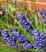 Planting Hyacinths Outdoors